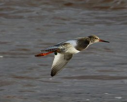 Common Redshank C73 near Turf Hotel, Exe Estuary