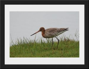 Photo 31 - Black Tailed Godwit by Keith McGinn