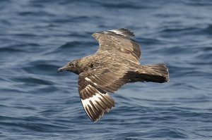 Great Skua (adult)