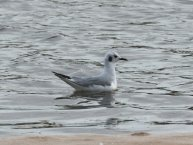 Bonaparte's Gull off Topsham yesterday