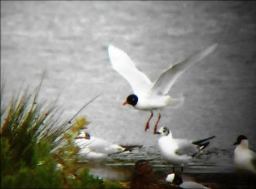 Adult Med Gull