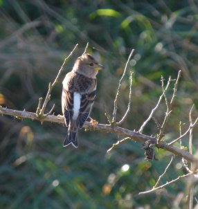 Brambling Dawlish Warren 21 Oct 12