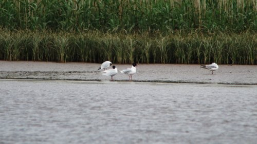 2-adult Mediterranean Gull from viewing platform