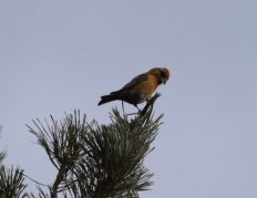 Crossbill at Aylesbeare Common