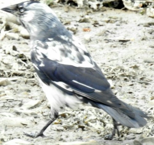 Semi leucistic Jackdaw on the Caen River at Velator