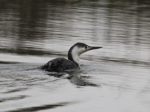 Red-throated Diver, Exeter Canal