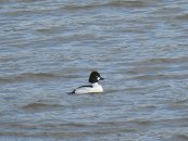 Male Goldeneye