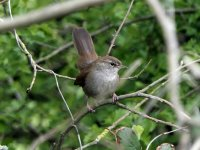 Cetti's Warbler Exminster Marshes