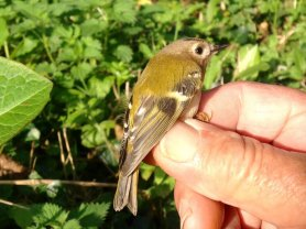 1st. Yr. male Goldcrest.