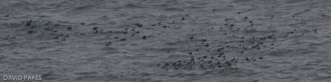 Some of the Common Scoter flock -Mansands - 7.12.2016