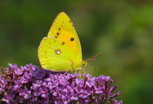 Clouded Yellow J.Marshall