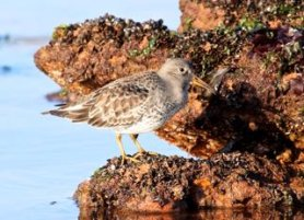 Purple Sandpiper in the sun