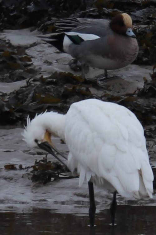 Spoonbill and Wigeon