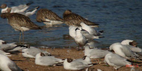 (white headed) Sandwich Tern