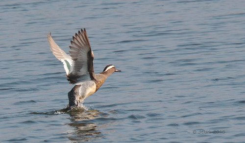 Male Garganey