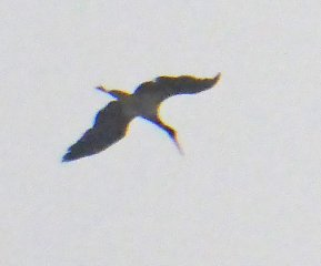 Black Stork Newton Abbot 050615 PS 2