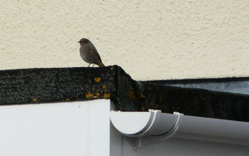black redstart - Orcombe Point - 29/10