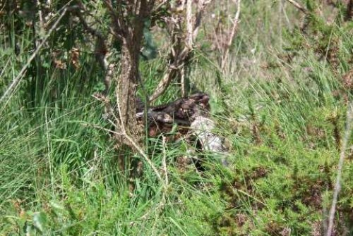 Nightjar, well hidden at the bottom of the gorse, out of the wind.