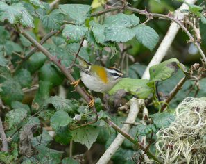 Firecrest Broadsands 16 Nov 2015 ML