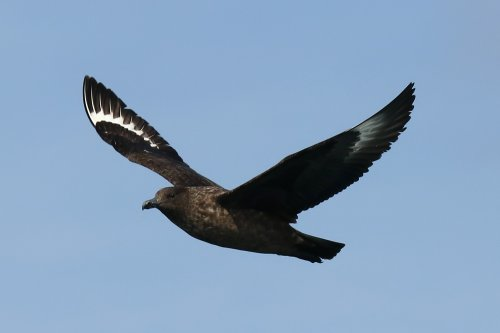 Great skua