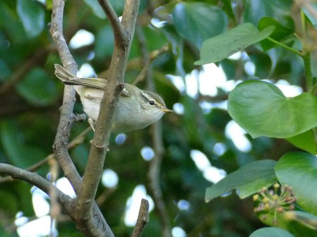 Yellow-browed WarblerBroadsands 8 Dec 2015 ML