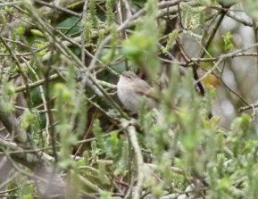 Siberian Chiffchaff Clennon Valley 2 Apr 2014