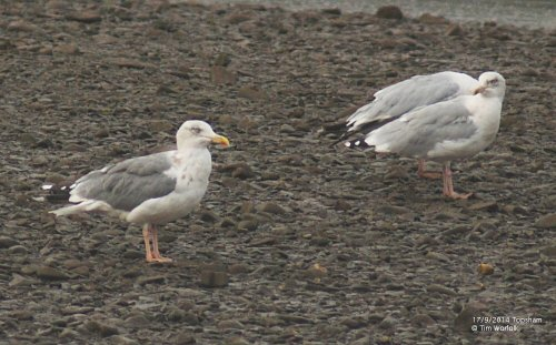 Hybrid Gull - 17/9/2014 Topsham Recreation Ground