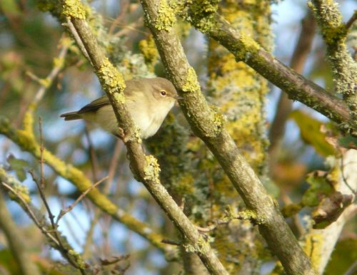 chiffchaff - Orcombe Point