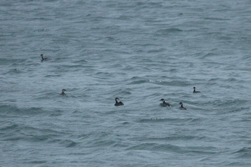 Mixed flock of Black Necked and Slavonian Grebes, Broadsands