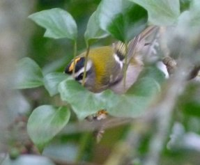 Firecrest Broadsands 1st Dec 2014 ML