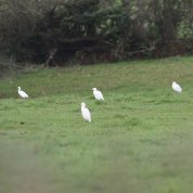 Cattle Egret 4 & 5 + little egrets