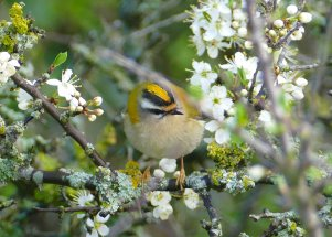 Firecrest Berry Head 1 April 2017 ML