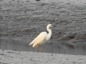 Great White Egret on Clyst estuary