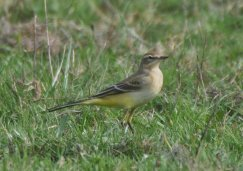 Yellow Wagtail, Juv/1st Winter