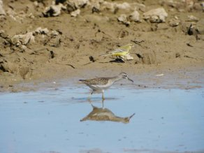 Wood Sandpiper & Yellow Wagtail