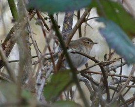 Siberian Chiffchaff Drake Clennon Lakes 8 March 2015 ML