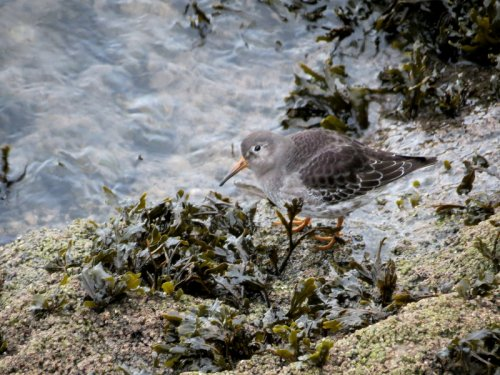 Purple Sandpiper, J. Marshall