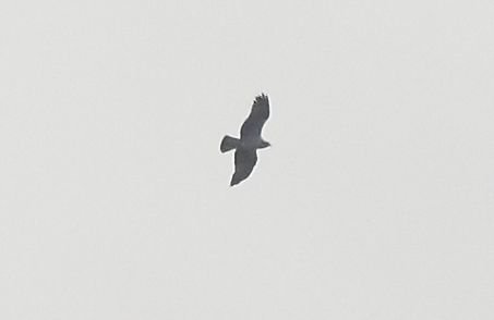 Osprey in the morning gloom - unmistakable silhouette