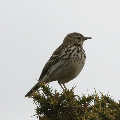 Tree Pipit - Bovey Heathfield