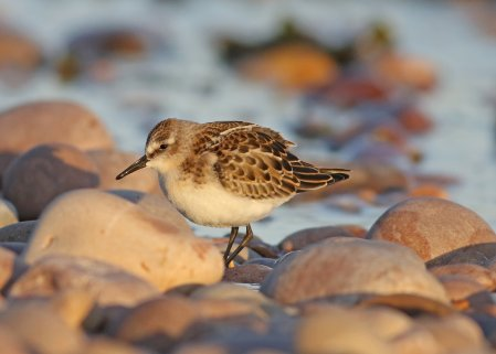 Juvenile Little Stint by Chris Townend