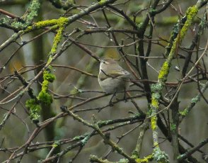 Siberian Chiffchaff Clennon Lakes 6 Dec 2108 ML