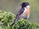 Stonechat © Martin Thorne, 30/6/2019, Ilfracombe, Capstone Hill