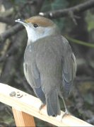 One of the female Blackcaps