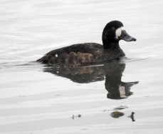 Scaup Tufted duck hybrid