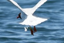 Med gull, detail of colour ring