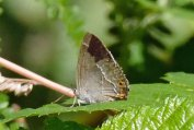 Purplehairstreak
