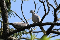 Male & Female Collared Doves