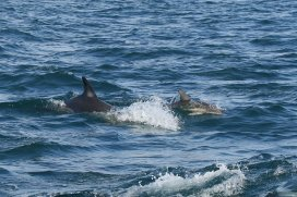 Common dolphins, mother with small calf