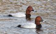 Two of the three Male Pochard that were on the pond on Sunday