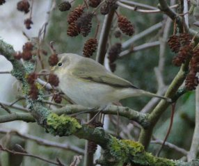 chiffchaff sp. Broadsands Dec 2015 ML